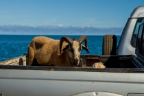 goat in car172
