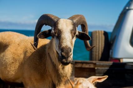 goat in car2_72