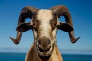 goat stares close up_1_72