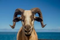goat stares72